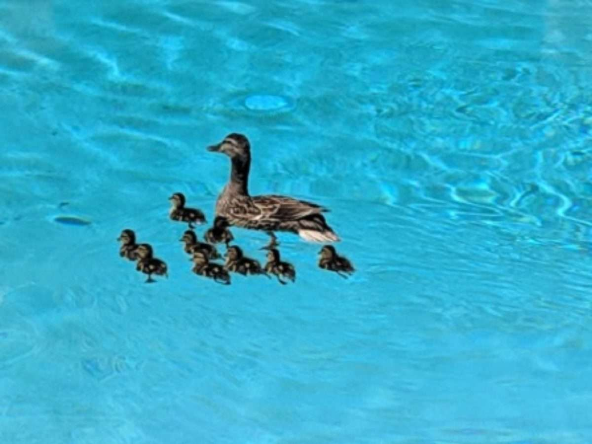 How Do You Keep Ducks Out Of A Swimming Pool